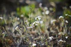 Kleine witte gevoelige de lentebloemen stock fotografie
