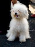 Kleine witte hond, ras-ODIS Stock Foto