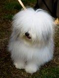 Kleine witte hond, ras-ODIS Royalty-vrije Stock Foto's