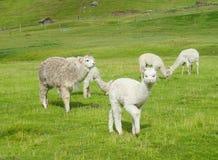 Kleine witte lama royalty-vrije stock fotografie