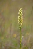 Kleine witte orchidee/Weiße Höswurz/Pseudorchis-albida Royalty-vrije Stock Afbeeldingen