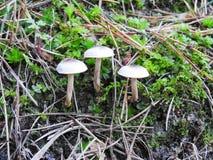 Kleine witte paddestoelen, Litouwen Stock Fotografie