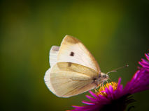 Kleine Witte Pieris-rapae, mannetje, de 15 zomergeneratie, op aster Royalty-vrije Stock Afbeelding