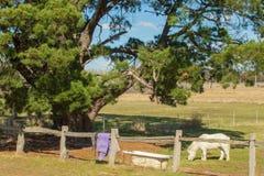 Kleine Witte Pony Eating in Paddock royalty-vrije stock afbeeldingen