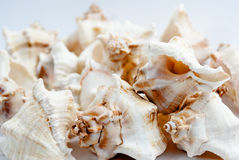 Kleine witte shells. Stock Afbeeldingen