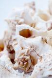 Kleine witte shells. Royalty-vrije Stock Afbeelding