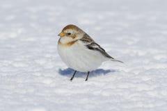 Kleine witte Sneeuwbunting die zich op de sneeuw in de winter bevinden Stock Foto's