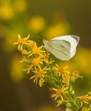 Kleine witte vlinder Royalty-vrije Stock Afbeeldingen