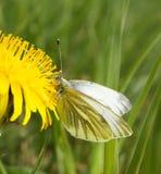 Kleine witte vlinder op paardebloem stock foto