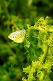 Kleine witte vlinder, (rapae Pieris) Royalty-vrije Stock Foto