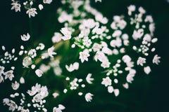 Kleine witte wildflowers, mooie natuurlijke bloemenachtergrond, im Royalty-vrije Stock Fotografie