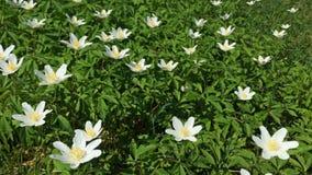 Kleine witte wildflowers Velen de eerste lente bloeien het slingeren in de wind stock video