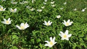 Kleine witte wildflowers Velen de eerste lente bloeien het slingeren in de wind stock videobeelden
