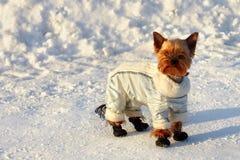 Kleine Yorkshire terriër in kostuum op de wintergang Stock Fotografie