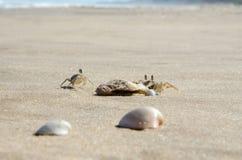 Kleine zandkrabben op het zand van het overzeese strand Close-up stock afbeeldingen