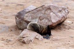 Kleine zeeleeuw - Bruine bontverbinding in Kaapkruis, Namibië Stock Foto