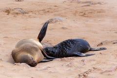 Kleine zeeleeuw - Bruine bontverbinding in Kaapkruis, Namibië Stock Afbeeldingen