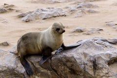 Kleine zeeleeuw - Bruine bontverbinding in Kaapkruis, Namibië Stock Foto's