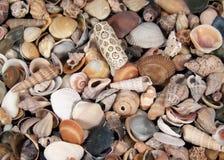 Kleine Zeeschelpen stock afbeelding