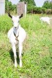 Kleine Ziege auf einer Wiese mit grünem Gras Lizenzfreie Stockbilder