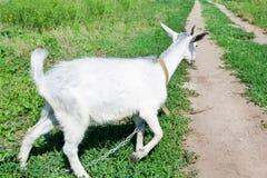 Kleine Ziege auf einer Wiese mit grünem Gras Stockfotografie