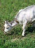 Kleine Ziege auf einer Wiese mit grünem Gras Stockfotos