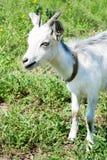 Kleine Ziege auf einer Wiese mit grünem Gras Lizenzfreie Stockfotos