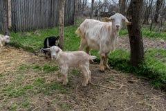 Kleine Ziege mit Mutter Stockfotos