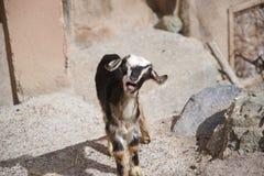 Kleine Ziege mit seinem Mund offen, blökend stockbild