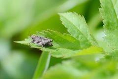 Kleine Zikade, Makro Lizenzfreie Stockbilder