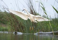 Kleine Zilverreiger, Little Egret, Egretta garzetta royalty free stock photos