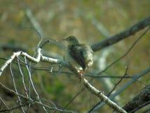 Kleine zonvogel, Blyth ` s Reed Warbler Acrocephalus Dumetorum stock afbeelding