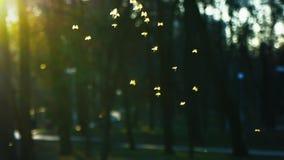 Kleine Zuckmücken fliegen in den Park in den Strahlen der untergehenden Sonne, Schwarm von Mücken stock footage