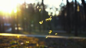 Kleine Zuckmücken fliegen in den Park in den Strahlen der untergehenden Sonne, Schwarm von den Mücken, die im Park, a-Schwarm von stock video