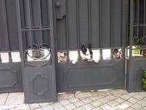 Kleine zwart-witte leuke honden die door gesloten poort kijken stock foto's