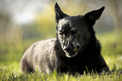Kleine zwarte hond Royalty-vrije Stock Afbeelding