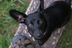 Kleine zwarte hond Royalty-vrije Stock Foto's