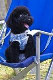 Kleine zwarte hond op een stoel Stock Afbeelding