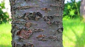 Kleine zwarte mieren die rond de boomboomstam lopen stock footage