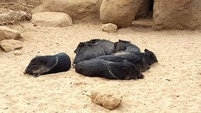 Kleine zwarte varkens Royalty-vrije Stock Foto's