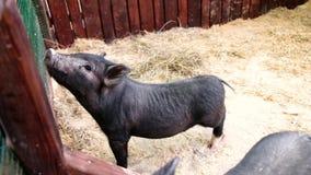 Kleine zwarte varkens op het landbouwbedrijf Biggetjesgegrom in contactdierentuin het Chinese nieuwe jaar van 2019 stock video