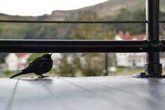 Kleine zwarte vogel onder een traliewerk Royalty-vrije Stock Foto's