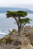 Kleine Zypresse Stockfoto