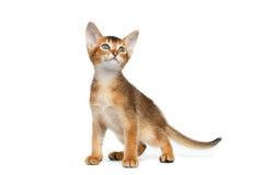 Kleiner Abyssinier Kitty Standing auf lokalisiertem weißem Hintergrund Lizenzfreies Stockfoto