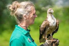 Kleiner Adler, der auf Vogellenkerhand sitzt Stockfoto