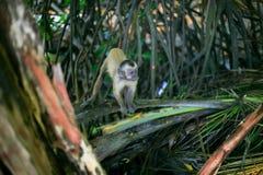 Kleiner Affe über branchs Stockfotos