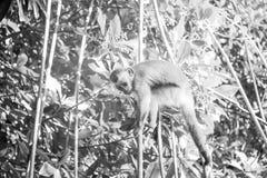Kleiner Affe über branchs Lizenzfreie Stockfotografie