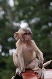 Kleiner Affe Stockfotos