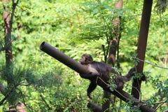 Kleiner Affe-Abschluss oben Stockfotografie