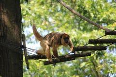 Kleiner Affe-Abschluss oben Stockbilder